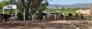 cows at Heho